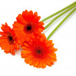 Orange gerber flower — Stock Photo #9781500
