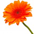 Orange gerber flower — Stock Photo #9781505