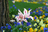 Two tulips on a beautiful flower garden — Stock Photo