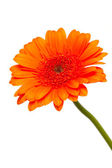 Orange gerber flower — Photo