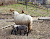 Sheep with babies — Stock Photo
