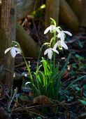 Snowdrops next to the wooden fence — Stock Photo