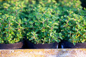 Pots with oregano in evening light — Stock Photo