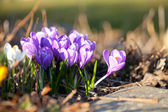 Crocus in spring — Stock Photo