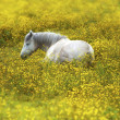 White horse resting in field — 图库照片