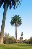 Palmy ve španělsku — Stock fotografie