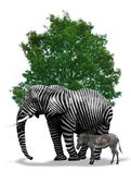 Elephant with zebra skin — Stock Photo