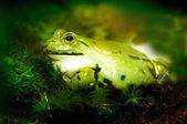 Yeşil kurbağa — Stok fotoğraf