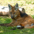 Fox in Moscow Zoo - Lizenzfreies Foto