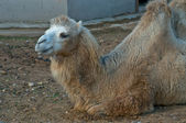 Camel in the Moscow Zoo — Stock Photo