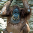 Big monkey in Moscow Zoo — Stock Photo #9345423