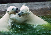 White Bears in Moscow Zoo — Stock Photo