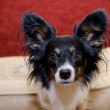 Stock Photo: Focused Papillon