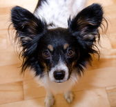 Begging papillon — Stock Photo