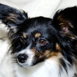 Papillon headshot — Stock Photo