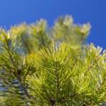 Pine needles. — Stock Photo #9617970