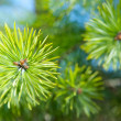 Pine needles. — Stock Photo