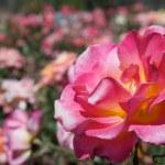 One Flower — Stock Photo
