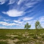 Two birch in tundra — Stock Photo
