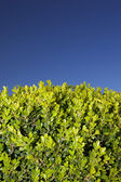 Leaves of a shrub and a clear sky. — Stock Photo