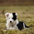 Scottish Border Collie. — Stock Photo