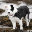 Scottish Border Collie pupppy. — Stock Photo
