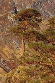 Scots Pine Tree in Glen Nevis.+ — Stock Photo