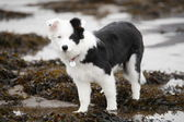 Scottish Border Collie pupppy. — Stock Photo