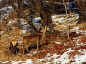 Red Deer Hinds. — Stock Photo