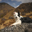Royalty-Free Stock Photo: Scottish BorderCollie.