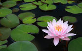 Water lily, lotus — Stock Photo