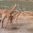 Stock Photo: Giraffe and baby