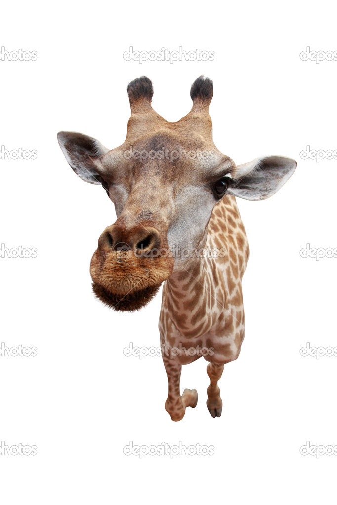 Sideview giraffe face isolated on white background — Stock Photo #10673374