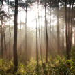 Sunbeam shinning thought fog in midst of pines — Stock Photo #9643536