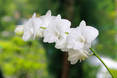 A group of white orchids — Stock Photo