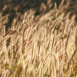 Dog tail grass, grass bloom — Stock Photo #9666405