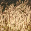 Stock Photo: Dog tail grass, grass bloom