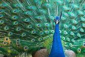 Beautiful peacock — Foto Stock