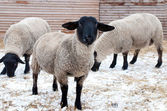 Suffolk sheeps — Stock Photo