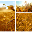 Grain collage - Stock Photo