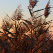 Reeds, Phragmites Communis — Stock Photo