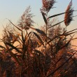 canne, phragmites communis — Foto Stock