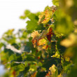 Vine detail - Stock Photo