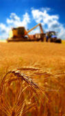 Grain harvest — Stock Photo