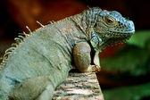 Green iguana (Iguana iguana) — Stock Photo