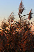 Reeds, Phragmites Communis — Stock Photo