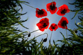 Fleurs de pavot — Photo