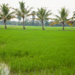 Trees in rice fields. - Stock Photo