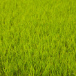 In the rice fields. - Stock Photo