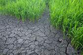 Seedlings of rice. — Stock Photo